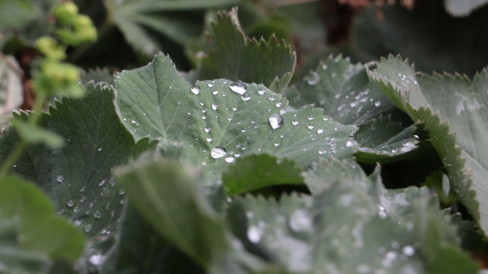 Blätter auf denen Wassertropfen liegen