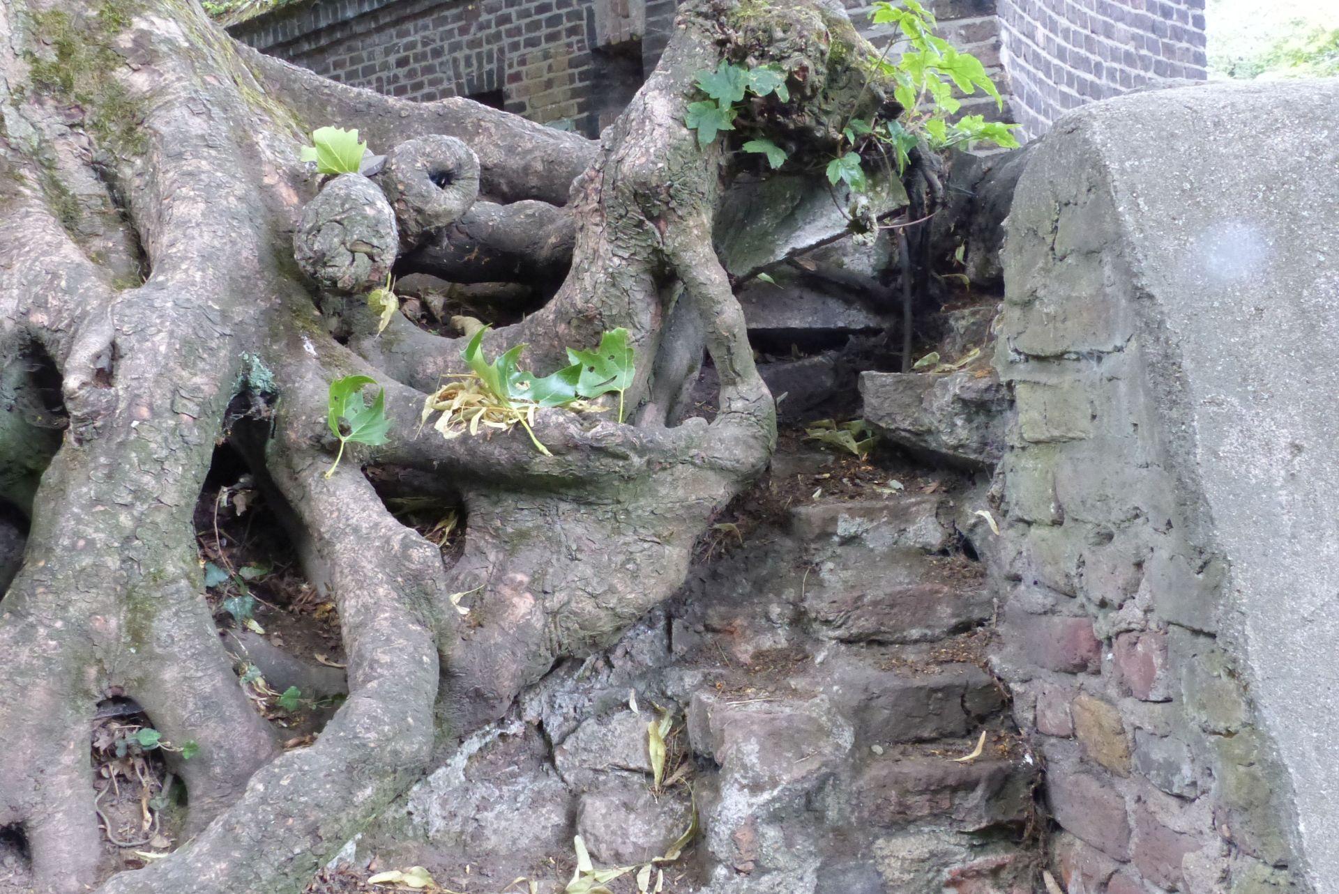 Baum mit wilden Wurzeln an Steinmauer