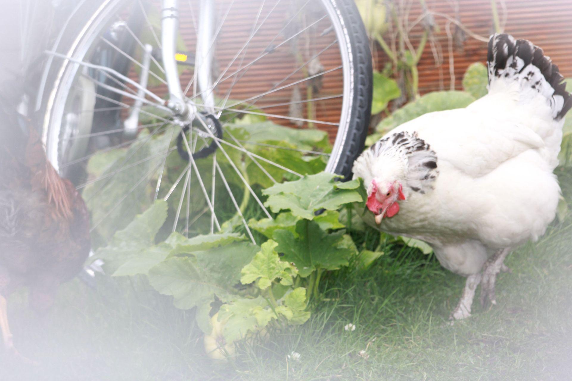 Weißes Huhn neben Fahrradreifen und grünen Pflanzen